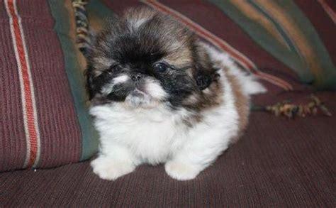 pug puppies for sale san antonio 25 best ideas about pekingese puppies for sale on pekingese puppies pug
