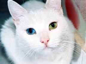 different colored eyes cat images amp pictures becuo