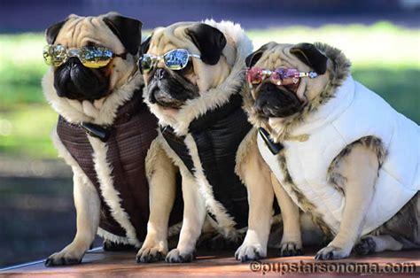doggles for pugs 犬用サングラス アイウェア uvプロテクション アイケア 目の