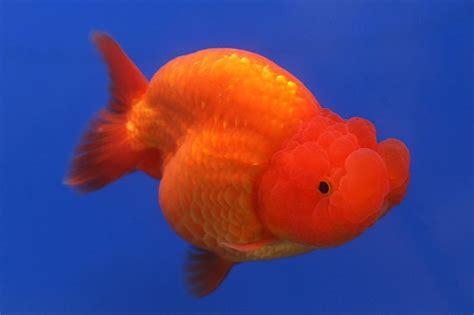 Pakan Ikan Koki Biar Cepat Besar jendela hewan merawat dan membudidayakan ikan koki