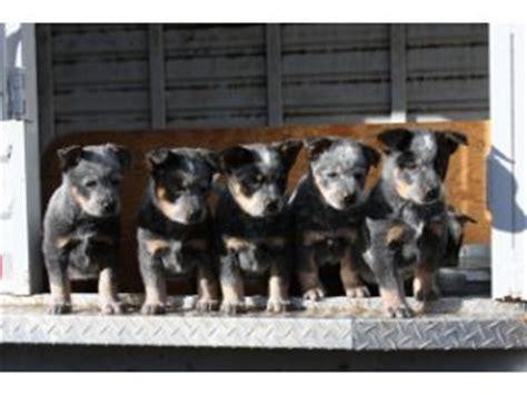 australian cattle puppies california australian cattle puppies in california