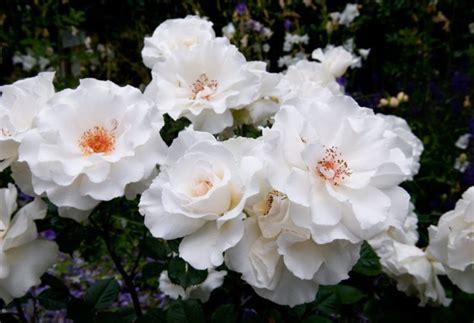 Bros Bunga Putih Ungu gambar koleksi rangkaian bunga mawar cantik aneka indonesia pernikahan pelengkap umumnya di