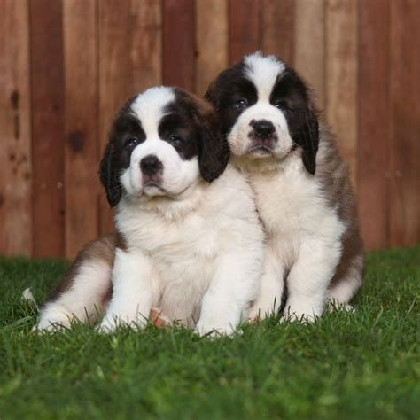 st bernard puppies for sale in nc 17 best images about bernard i taly switzerland