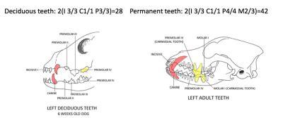 puppy teeth vs teeth digestive apparatus veterinary science tv2001 with tony at cook