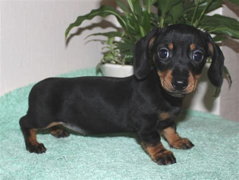 weiner puppy miniature dachshund puppy margate kent pets4homes