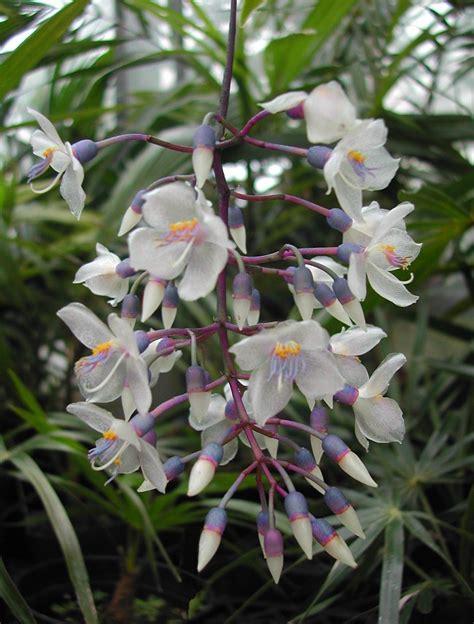 Chandelier Plant Chandelier Plant Medinilla Crassata Quot Medinilla Alata Quot