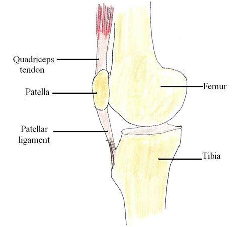 ligament diagram patellar ligament causes symptoms treatment patellar