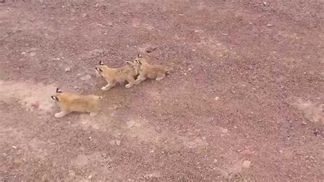 Baby Bobcats in the Mojave Desert   YouTube