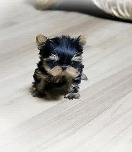 cheap puppies near me 1000 ideas about teacup puppies on puppy