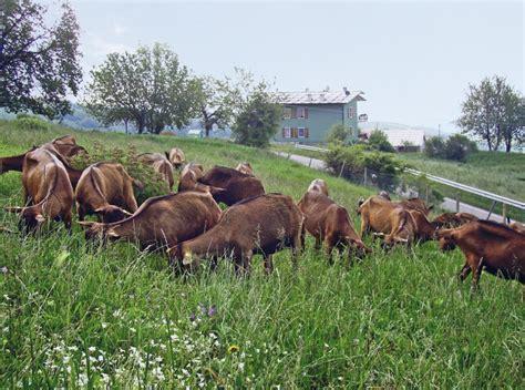 alimentazione pecore pascolo per le capre dopo la mungitura il pascolo con arbusti