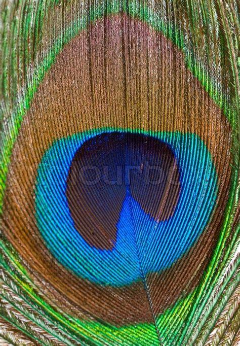 bild pfauenfeder macro farbigen schillernde pfauenfeder nahaufnahme