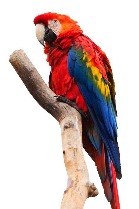 parrot png images flying green pirate parrots transparent    transparent
