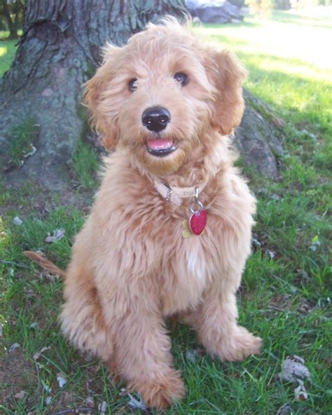 mini goldendoodles for sale in ohio riverstone puppies goldendoodle breeder wheelersburg ohio