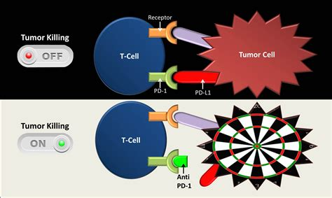a surprising match cancer immunotherapy and mismatch repair nih director s