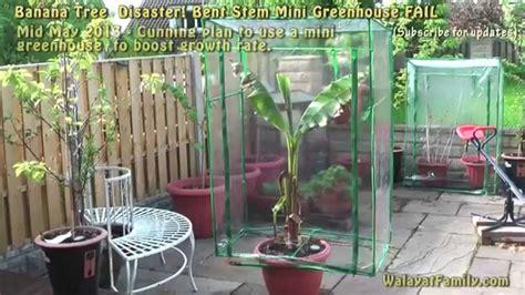 mini banana tree banana tree disaster mini greenhouse fail basjoo 4