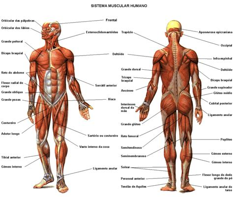 back muscles diagram front and back chart front and back diagram