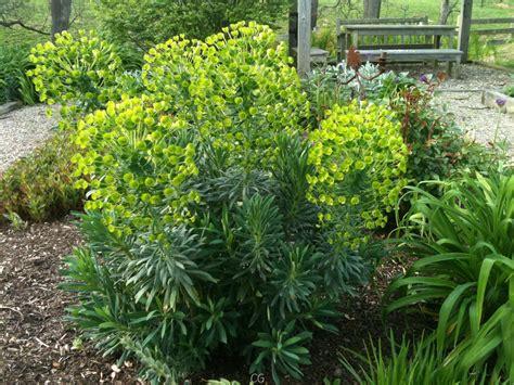 flush in euphorbia garden verve
