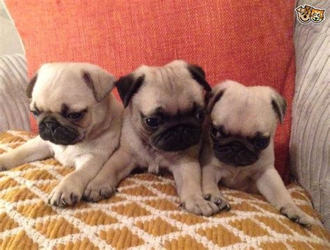 pug puppies for sell pug puppies ready for adoption animals absolutely adorable litter of genuine pug