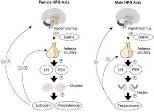 Image result for hypothalamic pituitary gonadal axis