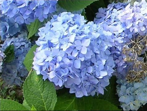 blue flowering shrubs in florida 17 best images about ne florida gardening on