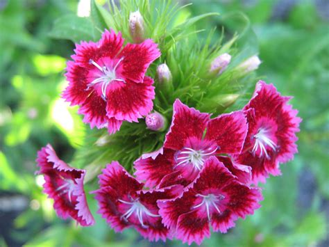 facts about carnations flower carnation information flowers ideas