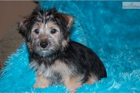 yorkie poo puppies for sale in chicago teacup yorkie puppies for sale in chicago teacup yorkie poo for sale breeds picture