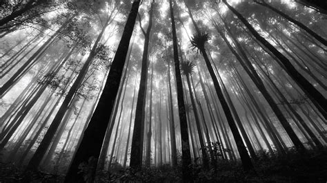 black and white three black and white pictures anime forest 3 wide wallpaper hdblackwallpaper