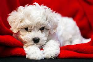 image gallery non shedding small dogs