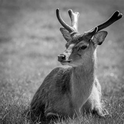 imagenes de venados en blanco y negro fotos gratis naturaleza c 233 sped en blanco y negro