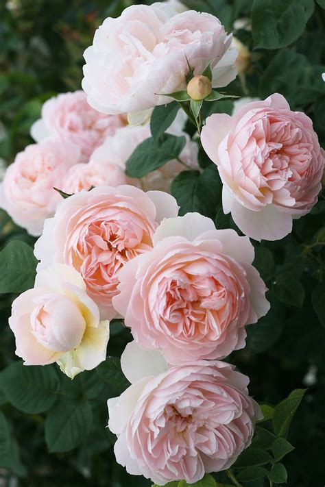 David Patio Roses by 25 Best Ideas About Beautiful Flowers Images On
