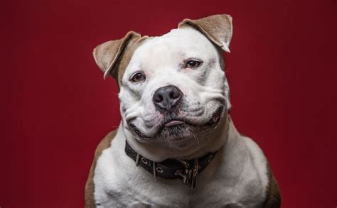 rescue pitbull puppies near me pitbull puppies pitbull rescue and adoption near you autos post