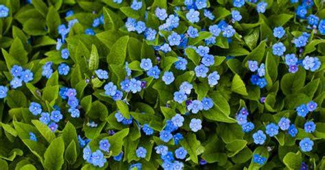 Blume Vergiss Mein Nicht 3822 by Blume Vergiss Mein Nicht Foto Vergissmeinnicht
