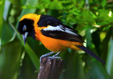 venezuelan troupial buy dead birds for taxidermy