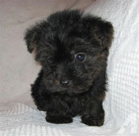 yorkie and poodle mix puppies pictures of terrier and a poodle mix breeds picture