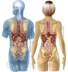 wo liegen die organe beim menschen anatomie mensch innere organe frau und mann ansicht