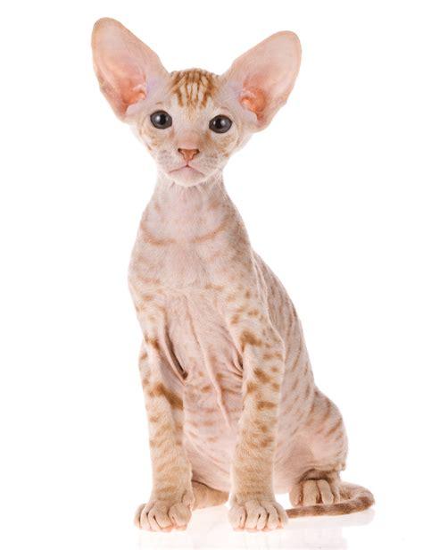 cat breeders peterbald breeders australia peterbald info kittens