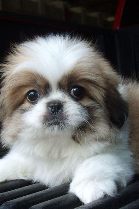 shih tzu things 17 things all shih tzu owners must never forget