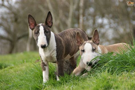 dogs and breeds vulnerable uk breeds the terrier pets4homes