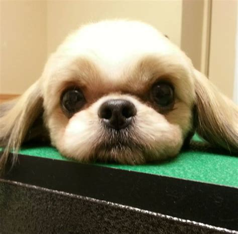 shih tzu haircuts puppy cut 28 best grooming by kristen images on haircuts pomeranian haircut