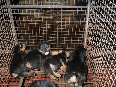 rottweiler kennels in india price of rottweiler puppies in india photo