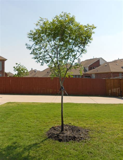 top 28 15 gallon tree cost agathis robusta 15 gallon