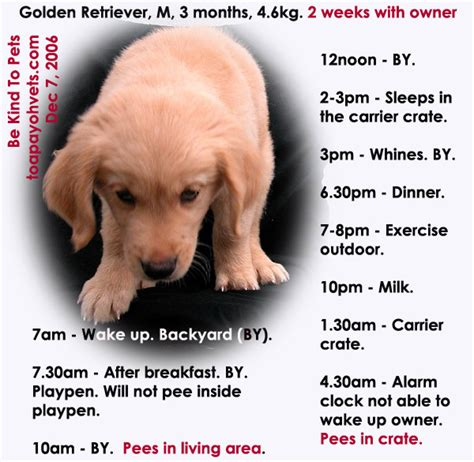 golden retriever diet golden retriever puppy diet chart domainnews