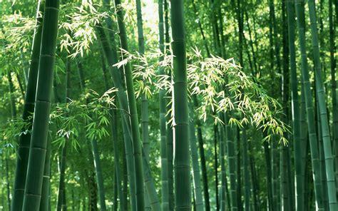 bamboo cay 壁纸1920 215 1200绿色竹情壁纸壁纸 绿色竹情壁纸壁纸图片 植物壁纸 植物图片素材 桌面壁纸