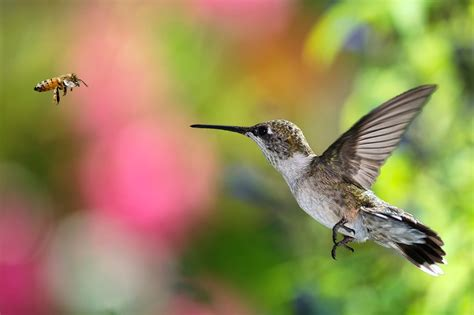 you should think of hummingbirds as bees with feathers