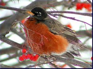 journey north american robin