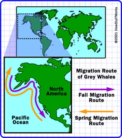 migration pattern of blue whale long distance swimmers whale migration howstuffworks