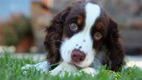 imagenes de english springer spaniel english springer spaniel cachorro hd colecci 243 n de