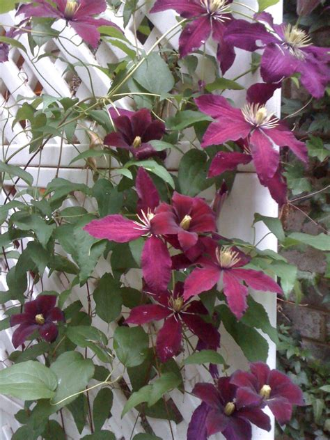 burgundy clematis vine for the love of flowers pinterest clematis vine clematis and