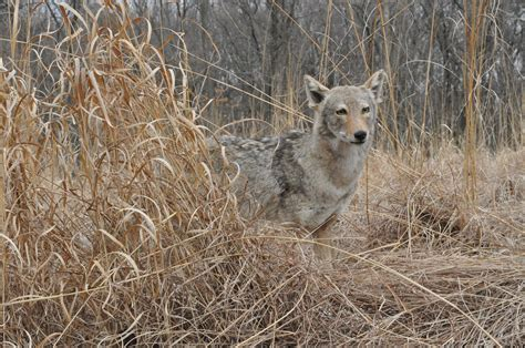 coyote attacks pet coyote www imgkid the image kid has it
