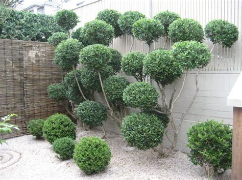 gardenia topiary tree cloud pruning quot the owner of the garden has turned one